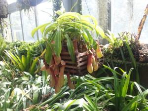 Mesojeda lilija v botaničnem vrtu